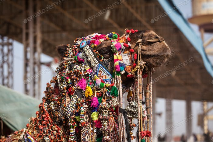 Camel at Pushkar Mela (Pushkar Camel Fair), India