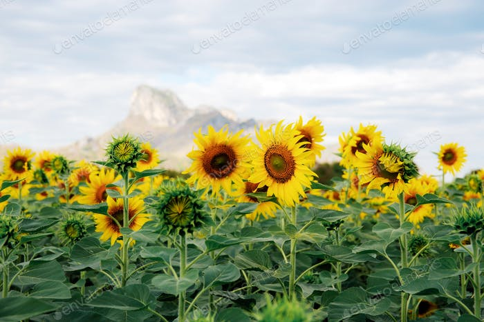 Sonnenblume mit schönen auf Hügel