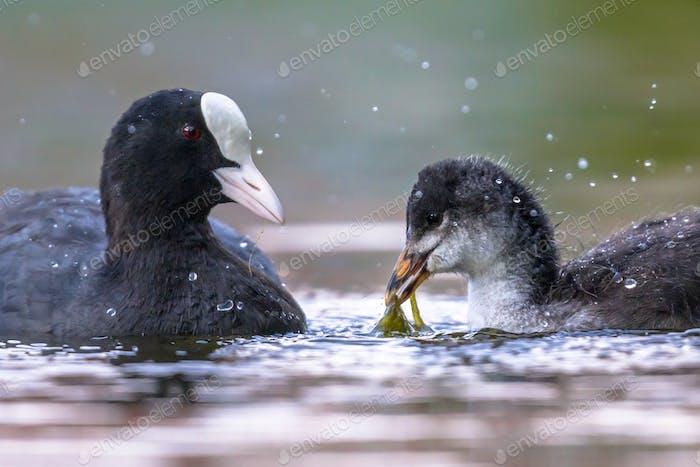 Eurasian coot feeding chick