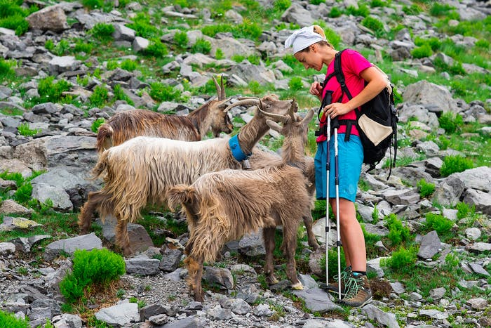 Woman hiker meets mountain goats