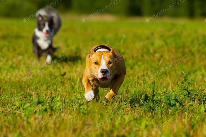 Freunde. Hunde. Staffordshire Terrier und Border Collie zu Fuß auf einem Feld. Sonniger Tag. Sommer