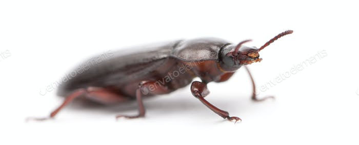Mealworm, Tenebrio molitor, in front of white background