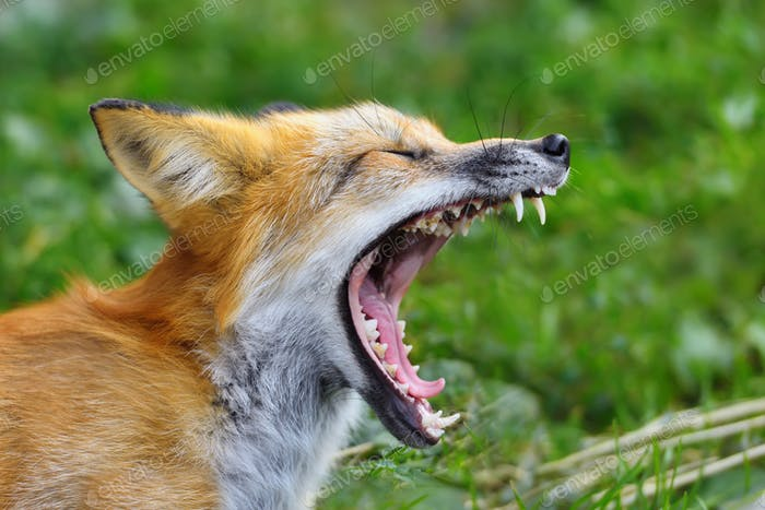 Portrait red fox in nature