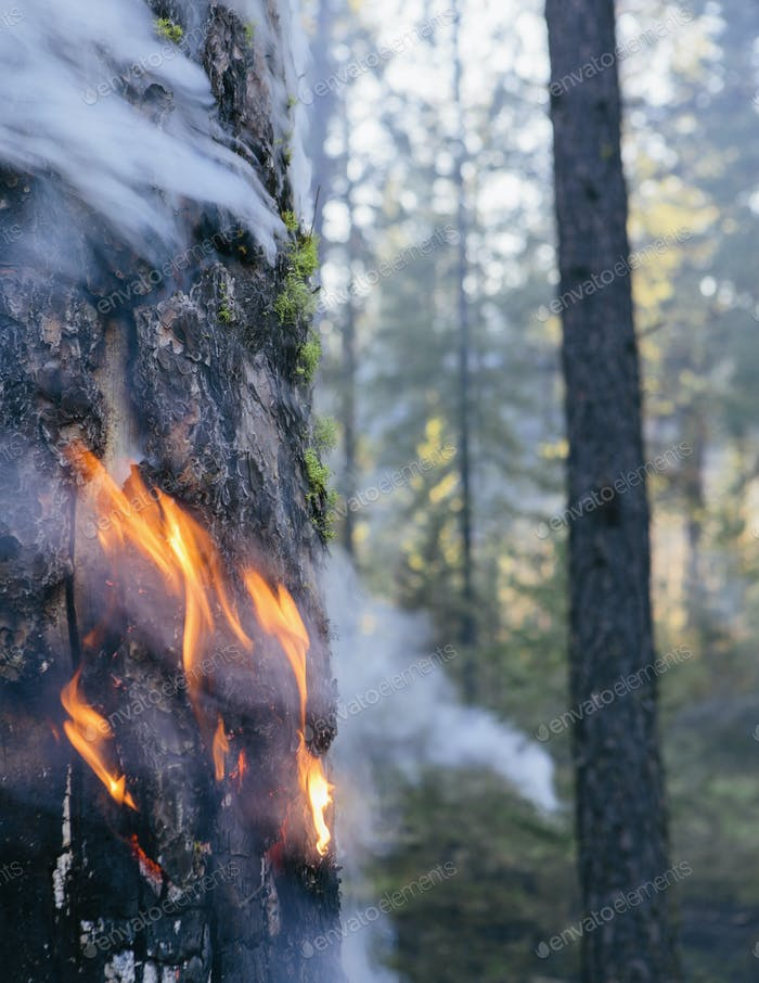 A controlled forest burn, a deliberate fire set to create a healthier forest ecosystem.