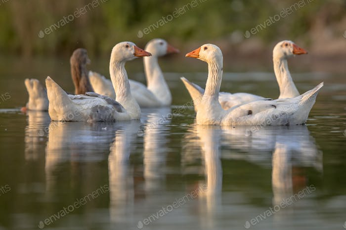 Group of alert white geese