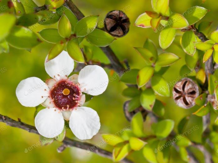 Manuka flower closeup
