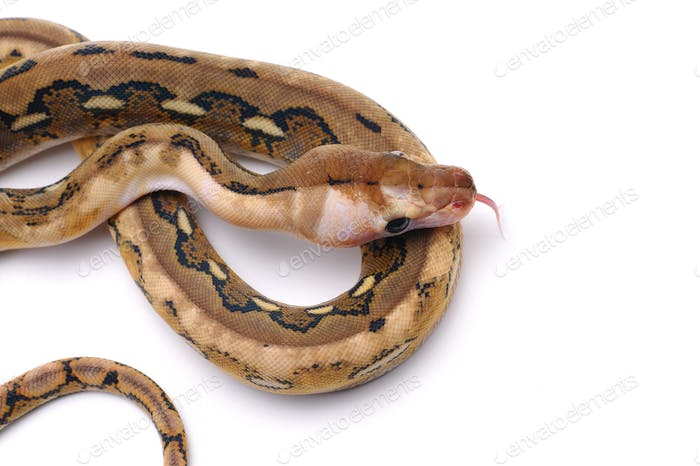 Snake Reticulated python isolated on white background