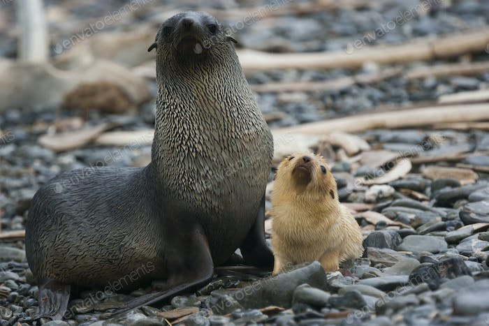 White Antarctic fur seal adult female, with a white seal pup at her side