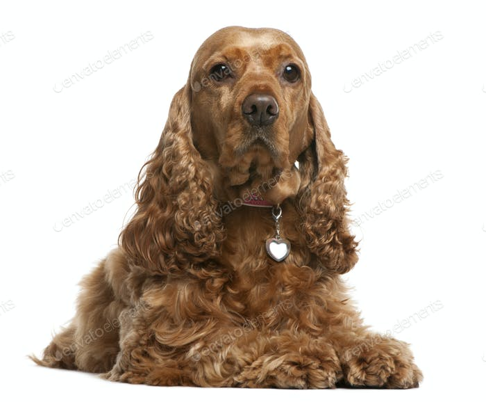 English Cocker Spaniel, 5 years old, lying in front of white background