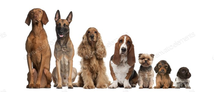 Group of brown dogs sitting, from taller to smaller against white background