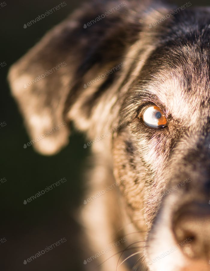 Intense Canine Dog Wolf Animal Eye Unique Color