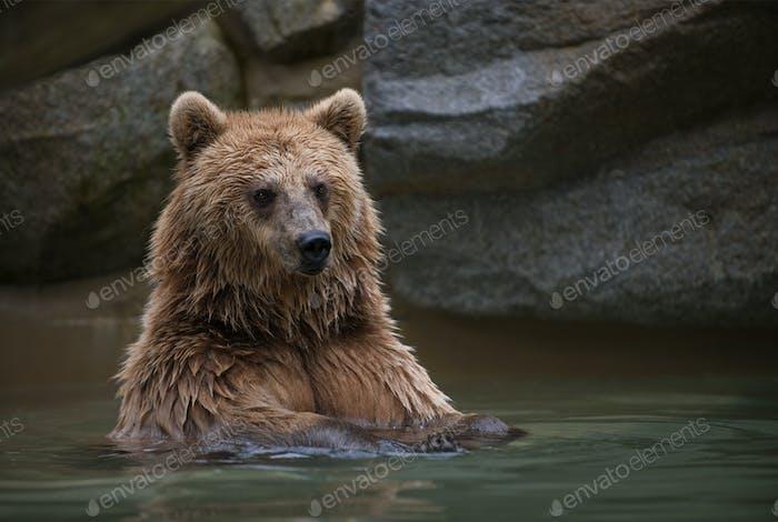 Braunbär in einem Schwimmbad