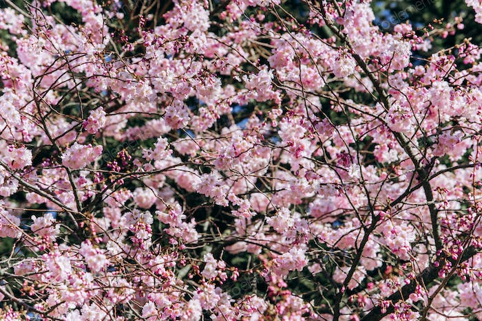 Branches of a flowering Apple tree close-up.