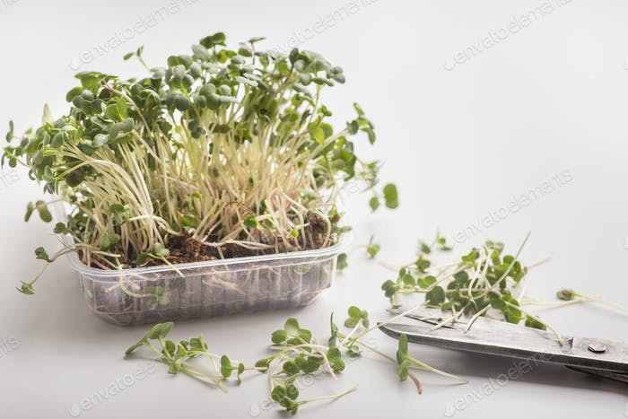Cutting seedlings from pot with microgreens on white