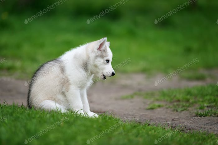 Cute said little husky puppy