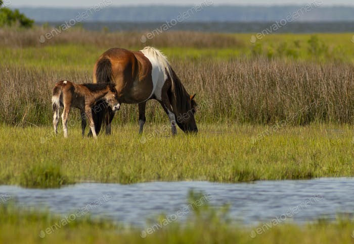 5 Day Old Wild Foal With Pony Mom at Assateague Island