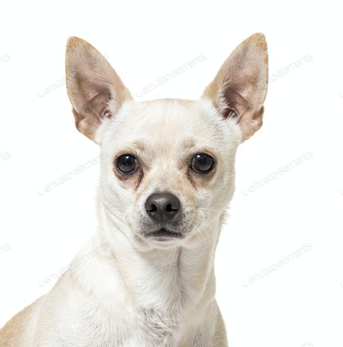 Nahaufnahme eines Chihuahua Hundes, ausgeschnitten