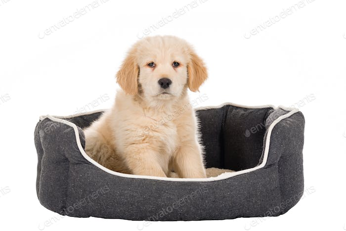 Golden Retriever puppy sitting in basket isolated on white background