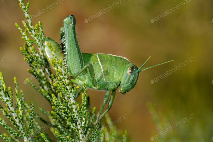 Garden locust on plant