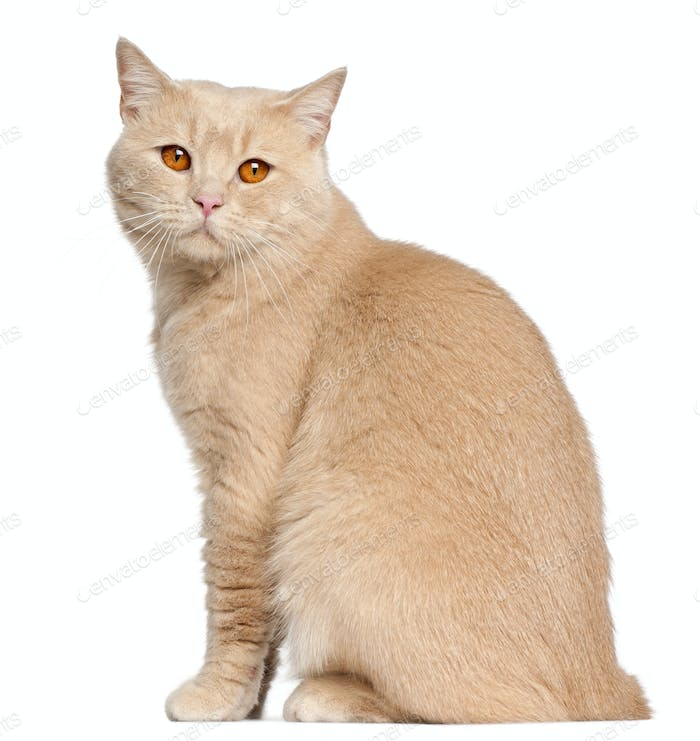 British Shorthair cat, 1 year old, sitting in front of white background