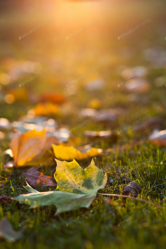 lovely autumn leaves at sunset