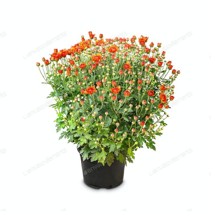 Busch Chrysanthemen mit jungen Knospen
