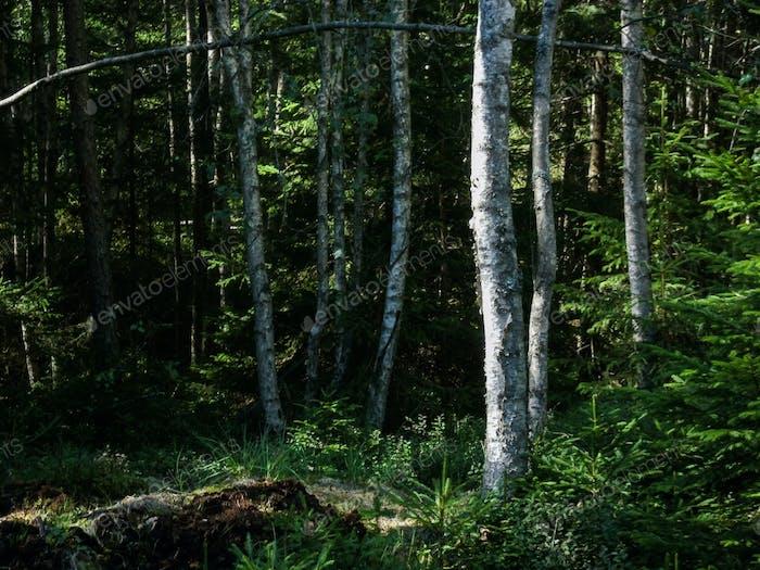 Birch trees, Tiveden, Sweden