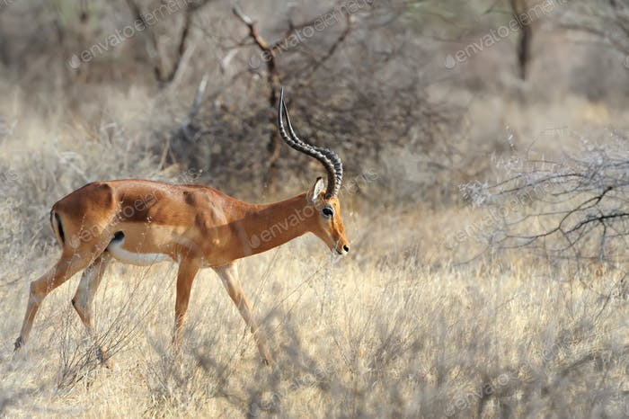 Impala in savanna