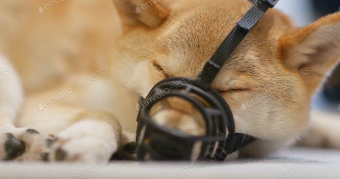 Shiba inu with muzzle