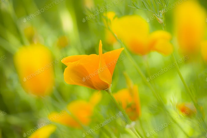 Yellow poppy flowers
