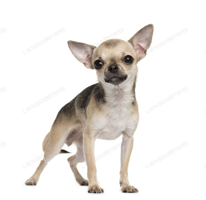 Standing Chihuahua dog, pet, cut-out