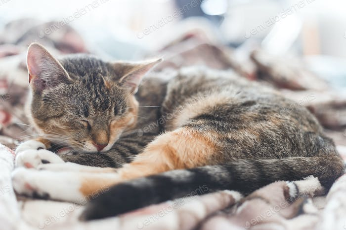 Young european shorthair cat sleeping in bed