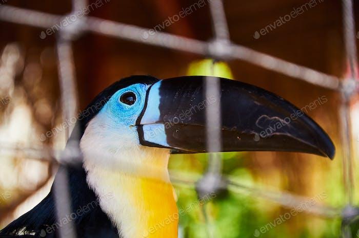 Beautiful Toucan in captivity