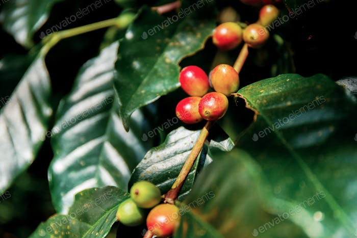 Coffee beans are ripe on tree
