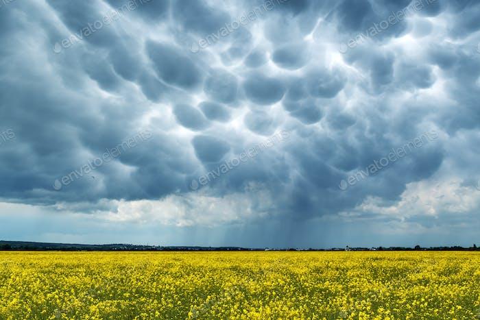 Yellow rape field on stormy sky background