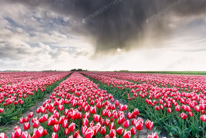 shower rain cloud over tulip field