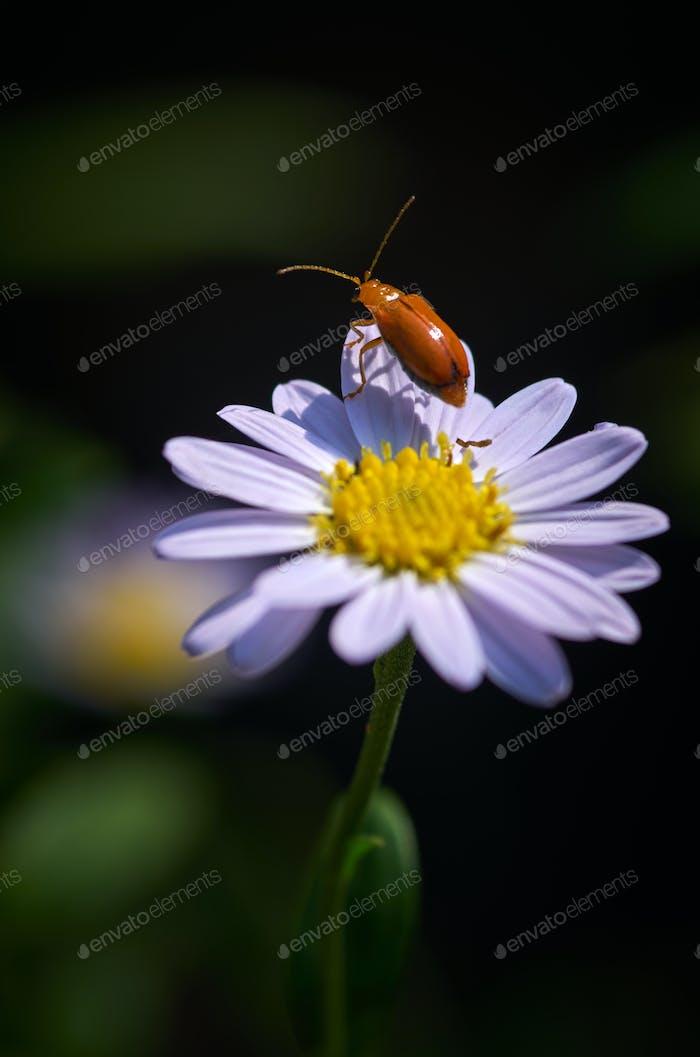 A bug on daisy