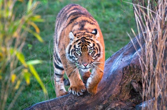 Sumatran Tiger Walking Towards the Camera
