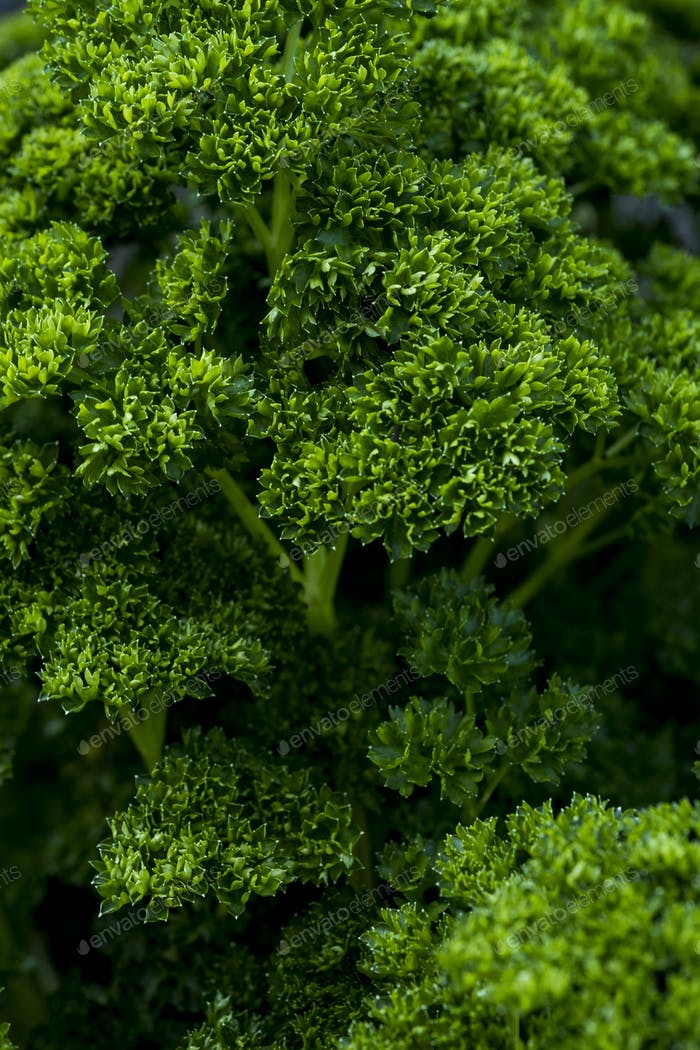 Extreme close up of bunch of curly parsley.
