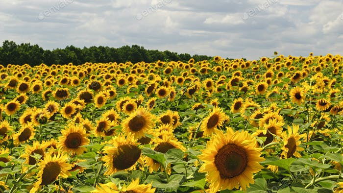 Beautiful blooming sunflowers field in summer
