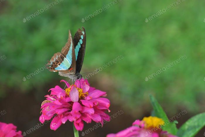 Gewöhnliche Jay Schmetterlinge sitzen auf einer Blume