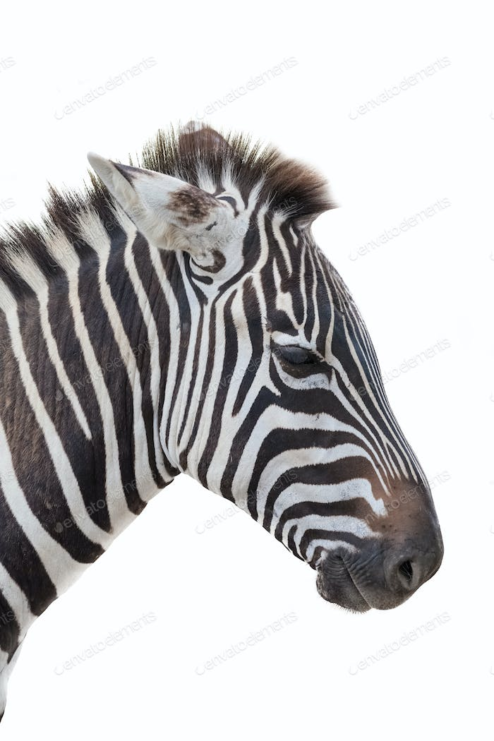 zebra closeup portrait