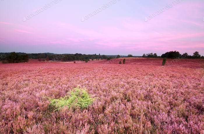 pink meadow with flowering heather