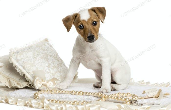 Jack Russel Welpe sitzt auf einem Teppich, isoliert auf weiß