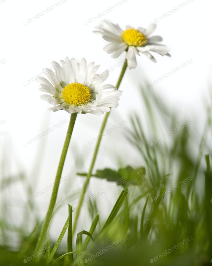 Daisies in grass in front of white background