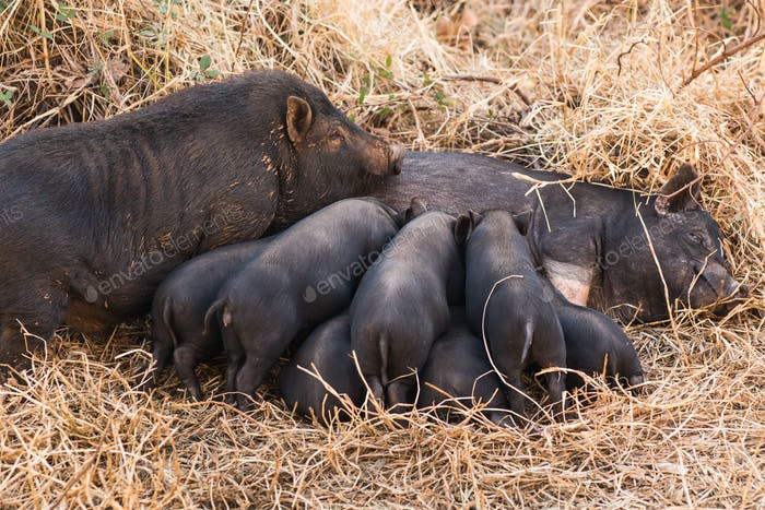 Wild boar piglets drink milk from her mother