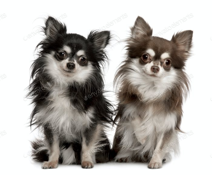 Portrait of two Chihuahuas, 7 years old, sitting in front of white background