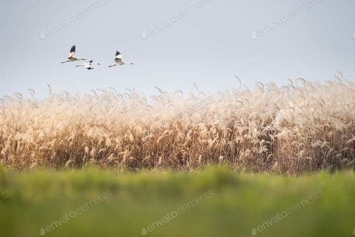 reed flowers and oriental white stork