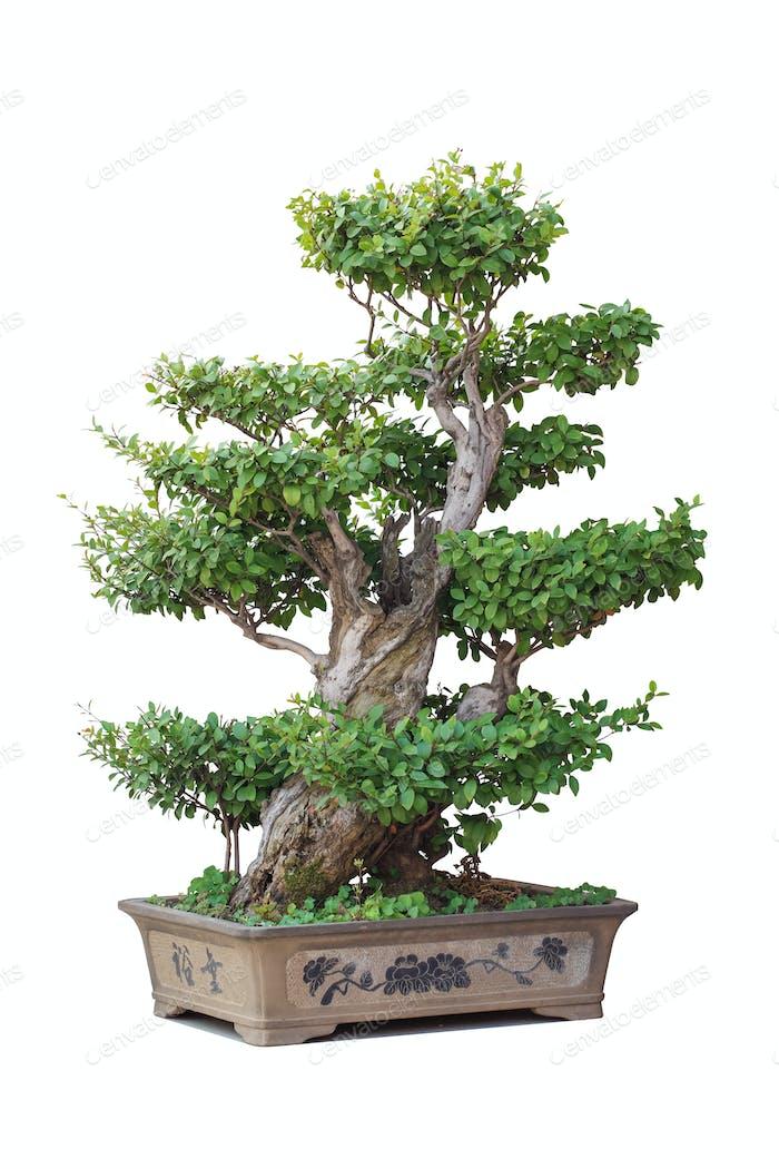 chinesischer Bonsai-Baum