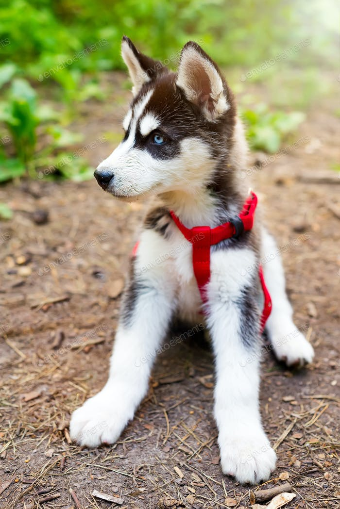 Small siberian Husky puppy in red dog leash